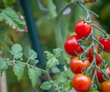 Cara Mudah Menggunakan Pekarangan Rumah untuk Menanam Tomat